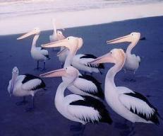 Pelicans, Lennox Head